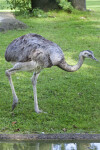 American Rhea Walking While Hunched