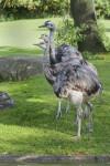 American Rheas Standing