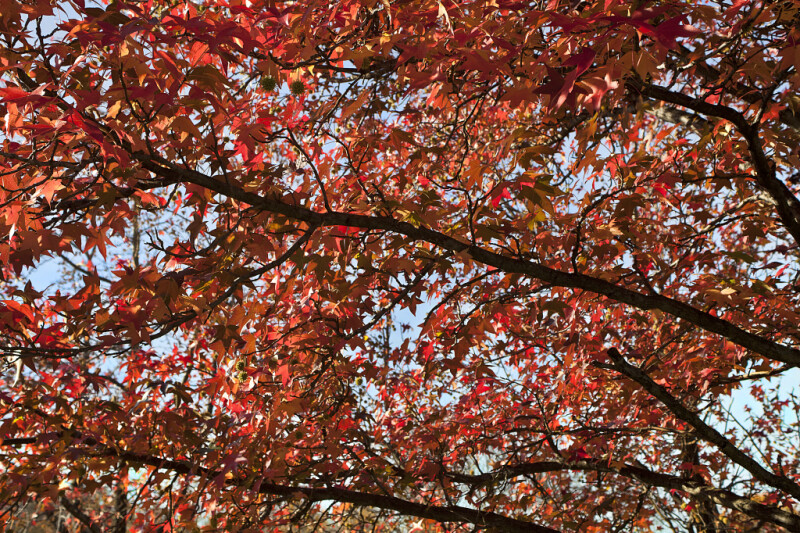 American Sweetgum Branches with Many Leaves