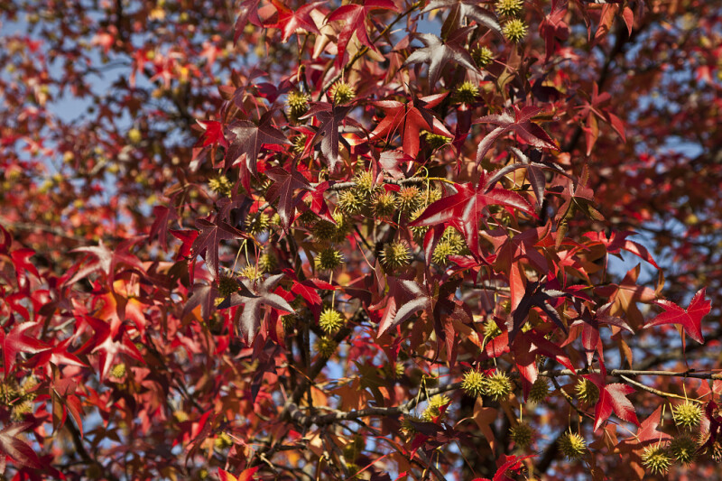 American Sweetgum Leaves and Flowers at Evergreen Park