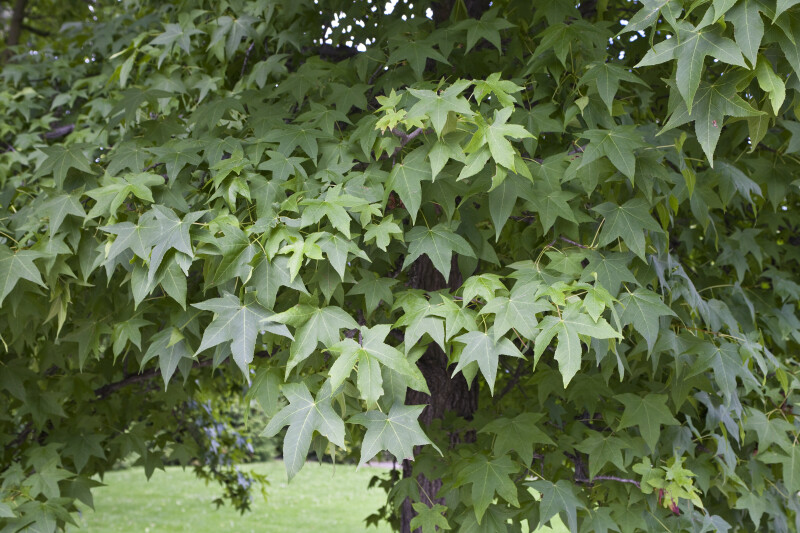 American Sweetgum Leaves