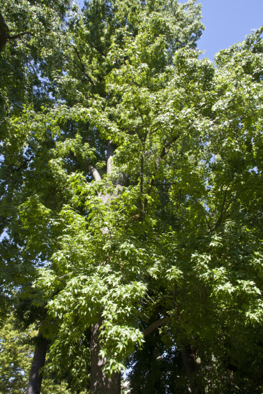 American Sweetgum Tree at Capitol Park in Sacramento