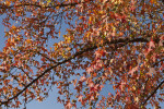 American Sweetgum Tree During the Fall at Evergreen Park