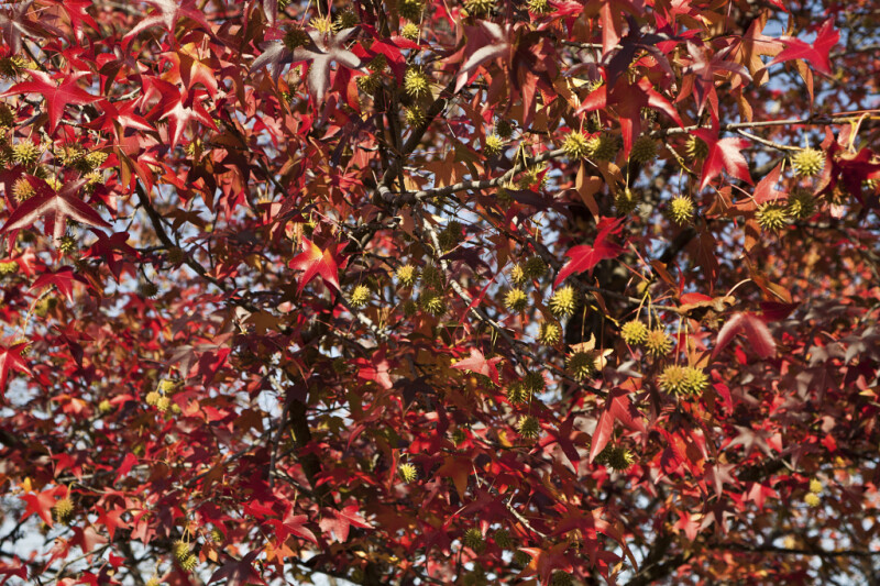 American Sweetgum Tree on a Sunny Fall Day