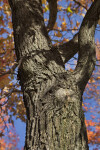 American Sweetgum Tree Trunk