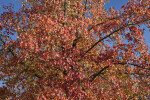 American Sweetgum Tree with Mostly Red Leaves