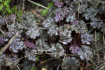 """Amethyst Mist"" Heuchera Flowers and Branches"
