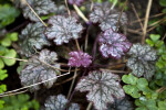 """Amethyst Mist"" Heuchera Wet Flowers and Leaves"