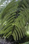 Amla Tree Branch