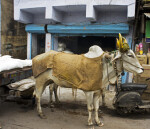Amrit Mahal Cattle