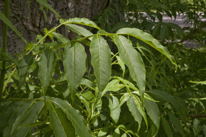 Amur Cork Tree Leaves