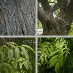 Amur Cork Trees photographs