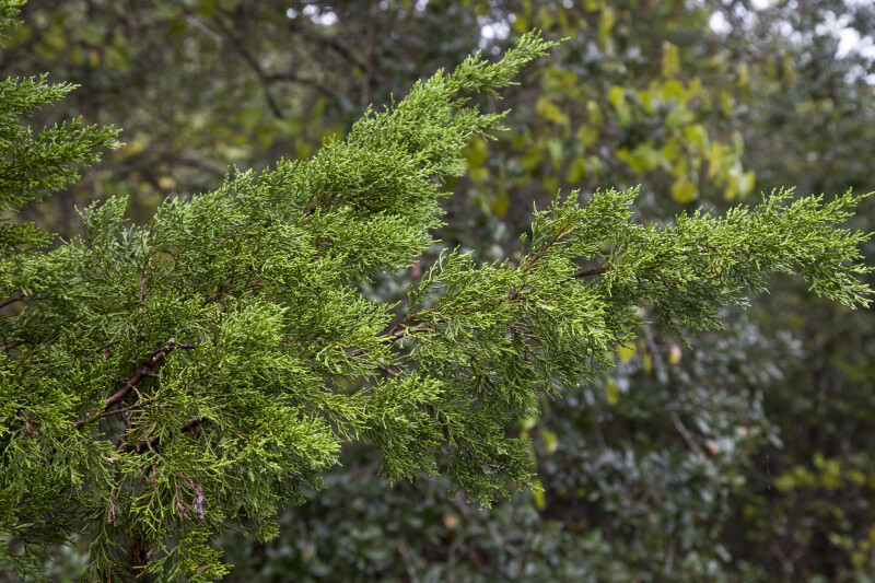 An Evergreen Branch