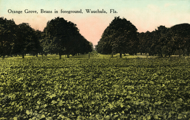 An Orange Grove and a Bean Field in Wauchula, Florida