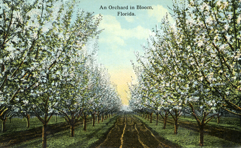 An Orchard in Bloom in Florida