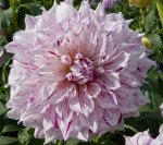 """Anatol"" Dahlia Flower"
