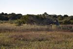 Ancient Red Cedar Tree at Fort Matanzas on Rattlesnake Island