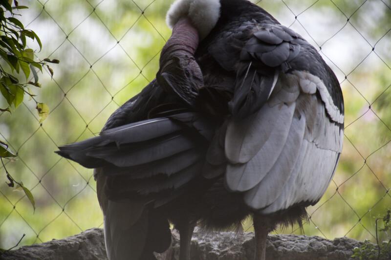 Andean Condor Preening