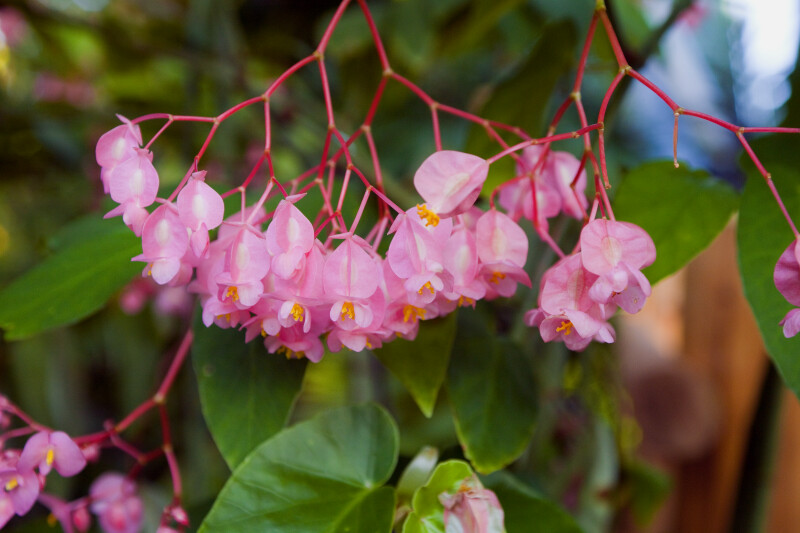 Angel Wing Begonia Flowers