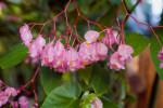 Angel Wing Begonia Flowers
