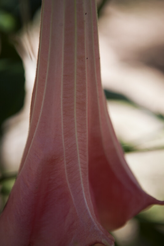 Angel's Trumpet Flower Up-Close