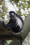 Angolan Black and White Colobus