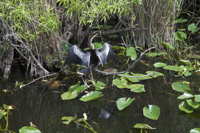 Anhinga Among Aquatic Plants