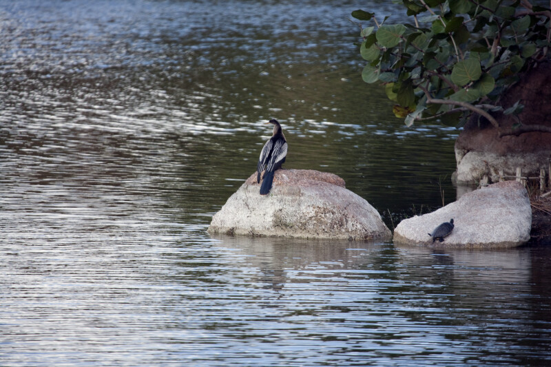 Anhinga and Turtle