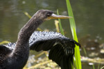 Anhinga Beak, Head, and Neck Close-Up