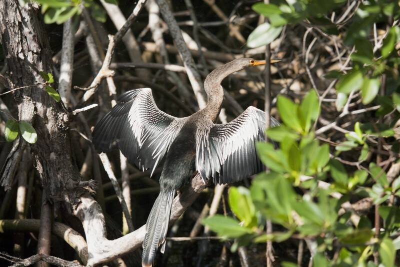 Anhinga Spreading Wings on a Branch