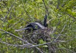 Anhinga in its Nest