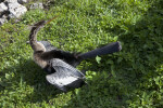 Anhinga Looking Backwards
