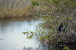 Anhinga (Male) Dryings Its Wings