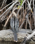 Anhinga on a Log
