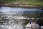 Anhinga on a Rock