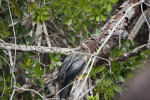 Anhinga on Tree