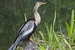 Anhinga Resting on a Tree Stump