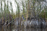 Anhinga Resting on the Roots of a Mangrove Tree
