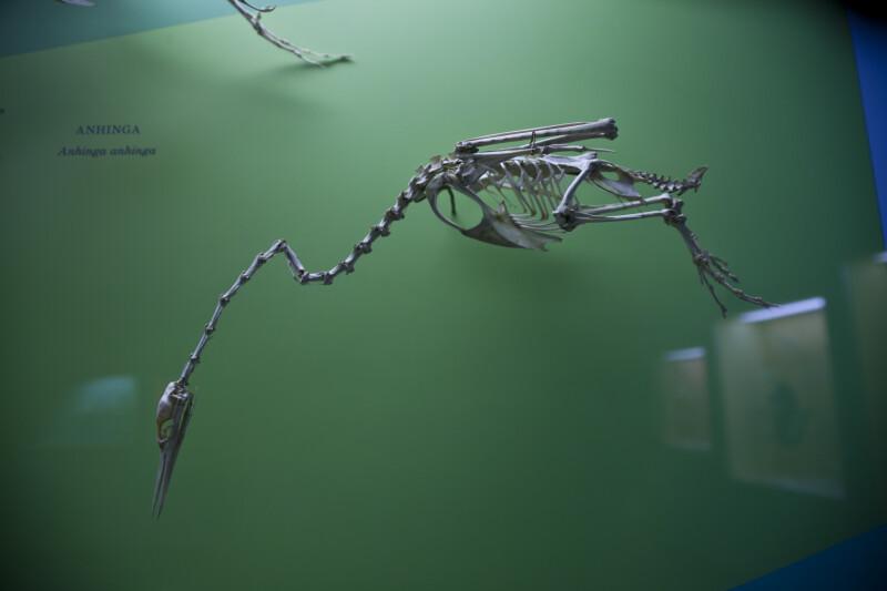 Anhinga Skeleton