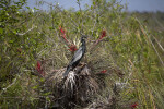 Anhinga Standing in a Cluster of Flowering Air Plants