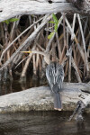 Anhinga Standing on a Log