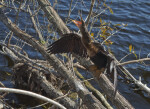 Anhinga Swallowing Prey