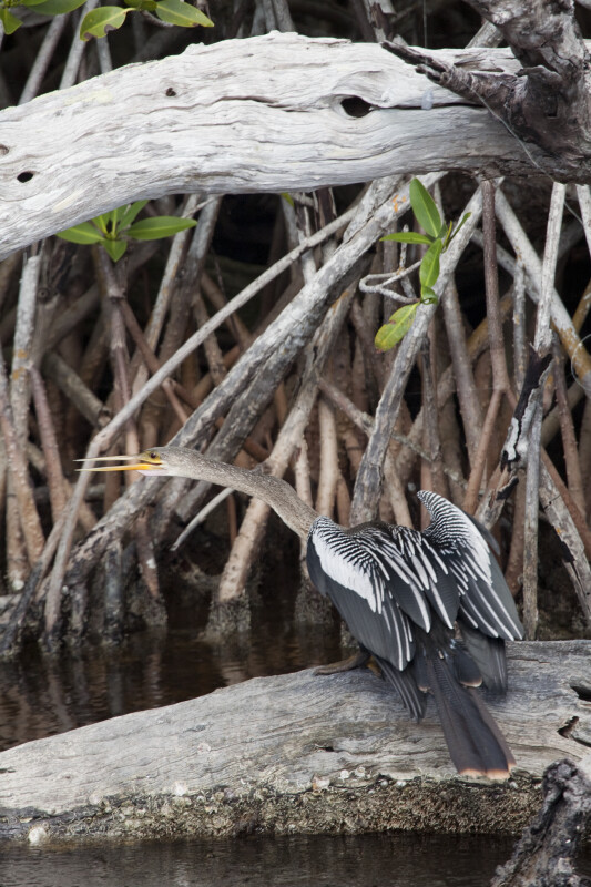 Anhinga with Beak Open