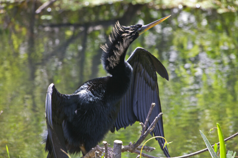 Anhinga with its Wings Lifted