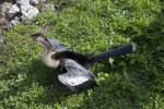 Anhinga with its Wings Spread