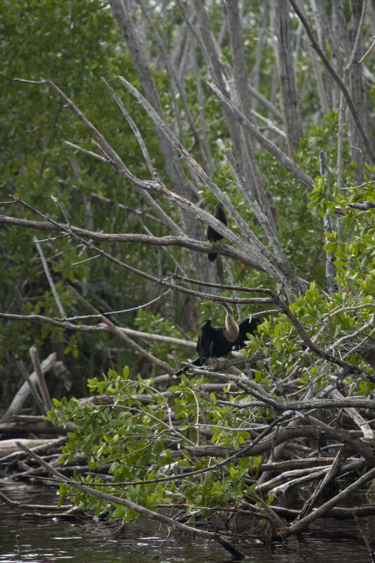 Anhingas in Tree