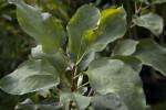 """""""Anna"""" Apple Tree Leaves"""