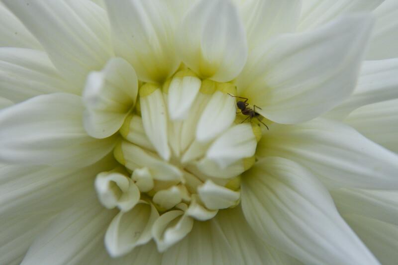 Ant on Dahlia