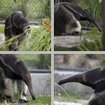 Anteaters photographs