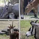 Antelope photographs